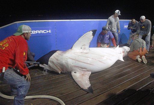 Great White Shark Tracker_130004