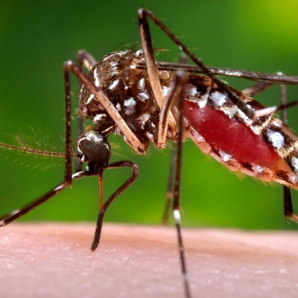 Aedes aegypti mosquito_171583