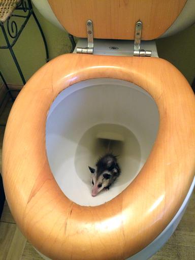 Toilet Opossum_194776