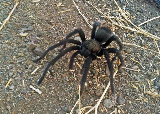 ODD Tarantulas-Mating Season_221006