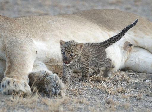 Tanzania Lion and Leopard Cub_308520