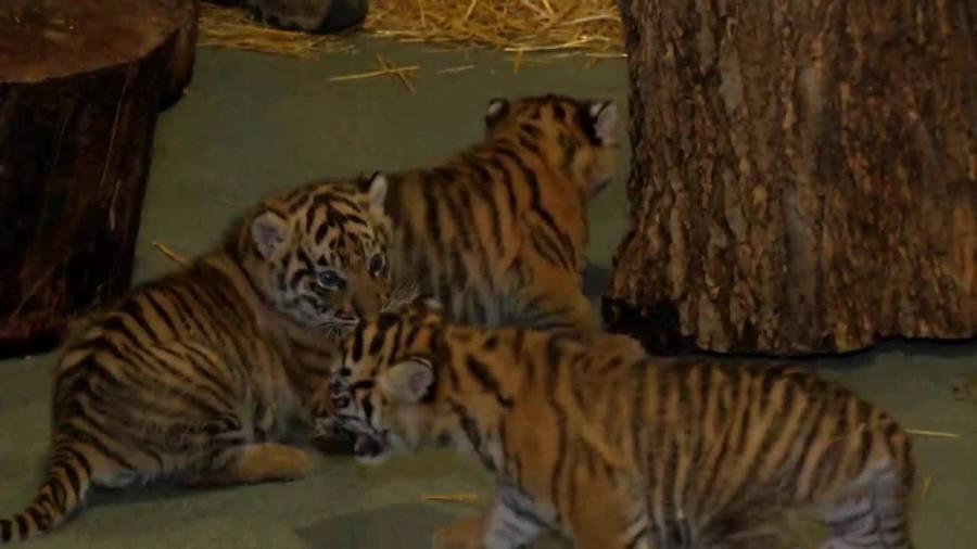 Tiger Cubs at the Zoo