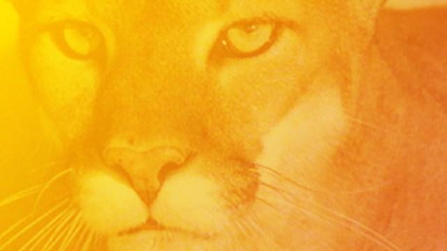 mountain lion_158247