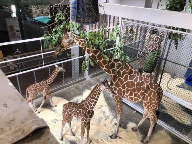 Topeka Zoo accepting downed branches for animals to snack on
