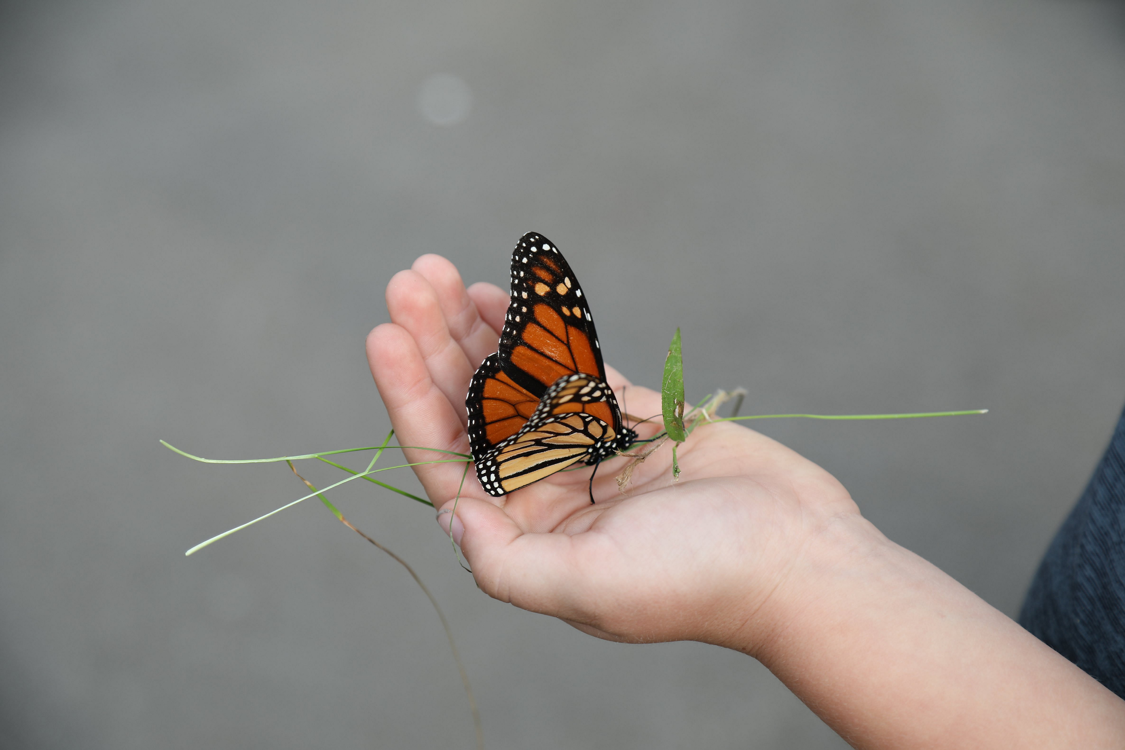 The Monarch Butterflies are beginning  migration South